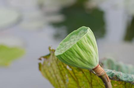 lotus seeds: fresh lotus seeds in pond