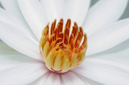 beautiful white waterlily or lotus flower in pond Stock Photo