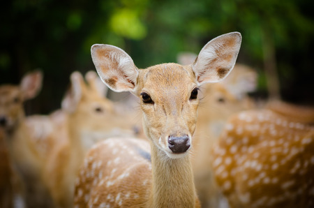 portrait of a young dappled deer