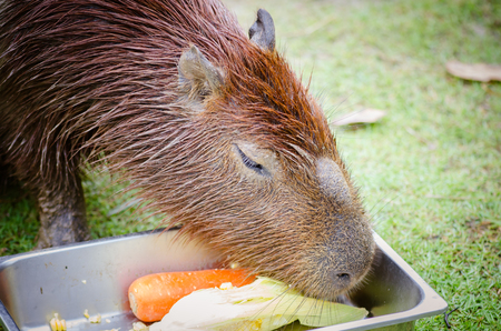 Capybara,Hydrochoerus hydrochaeris, Widlife from South America.