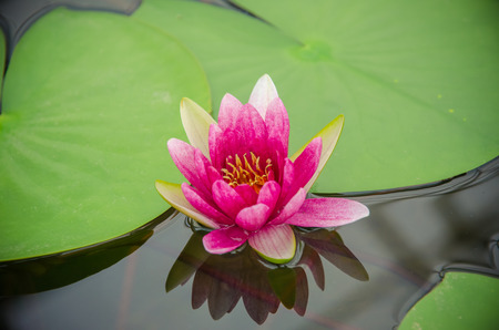 Nymphaea-Hybrid. Nymphaeaceae family. Colorful water lilly in pond Stock Photo