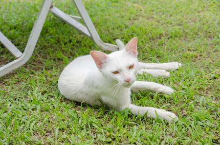 White cat lying on the lawn