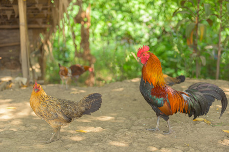 male animal: Colorful of bantam rooster. Stock Photo