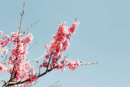 Pink Cherry Blossom in Springtime, Sakura Flowers Blossoming With Branches Against Blue Sky Background. Abstract Nature Backgrounds of Beautiful Sakura Flower Blossoming in Spring Season. 스톡 콘텐츠