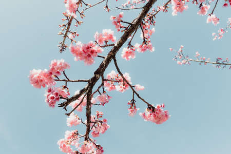 Pink Cherry Blossom in Springtime, Sakura Flowers Blossoming With Branches Against Blue Sky Background. Abstract Nature Backgrounds of Beautiful Sakura Flower Blossoming in Spring Season. Imagens