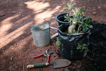 Gardener Prepare for Repotting a Tree in a Pot at The Garden. Home Gardening Flower and Tropical Tree Planting. 免版税图像