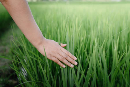 Female Hand is Touching Rice Leaves in Agriculture Farm, Close-Up of Woman Hand Touched Fresh Rice Leaf in The Rice Field. Farmer Woman Relaxation While Touching Rice Sprouts in The Farming Fields