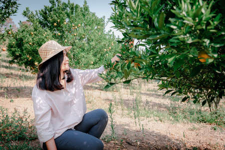 Farmer Woman is Harvesting Picking Oranges Fruit in Organic Farm. Cheerful Attractive Farmer Woman is Working in Orange Plantation Farming.  Agriculture Lifestyles and Orange Plantation Orchard