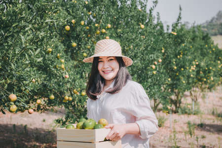 Farmer Woman is Harvesting Oranges Fruit While Holding Wooden Basket With Happy Smiling in Organic Farm. Cheerful Attractive Farmer Woman is Working in Orange Plantation Farming. Agriculture Lifestyle