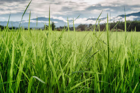 Close-Up of Rice Leaves in Agriculture Farm, Landscape Scenery of  Agriculture Rice Fields During Sunset. Agricultural Organic Rice Cultivation for Sustainable Lifestyle. Natural Plant Background
