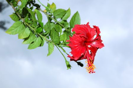 Red full blossom Malvaceae hibiscus flower on a summer day Stock Photo