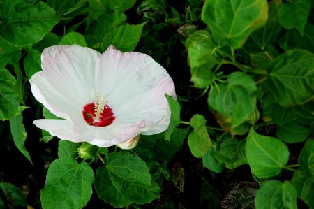 Light pink full blossom Malvaceae hibiscus flower with leaves