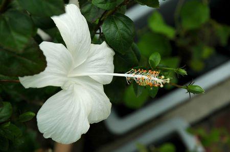 malvaceae: White full blossom Malvaceae hibiscus flower with leaves