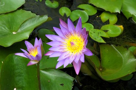 Two purple water lily lotus with leaves floating on a lake