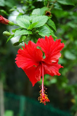 Red full blossom Malvaceae hibiscus flower with green leaves