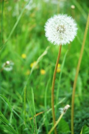 White dandelion blossoming in a field of grass