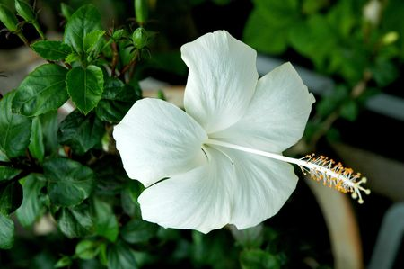 rosemallow: White full blossom Malvaceae hibiscus flower with leaves