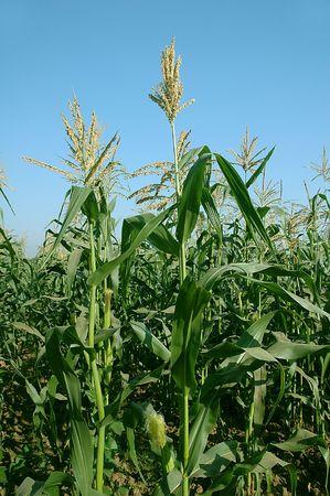 Fresh corn plant growing on a farm