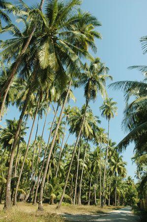 Tall palm trees alongside a soil path in rural area