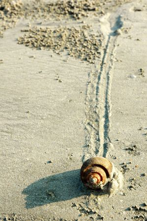 Slow moving snail Mollusca Gastropoda with trail on a sandy beach