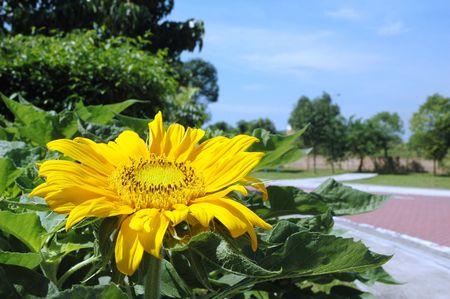 helianthus annuus: Bright golden sunflower Helianthus annuus blooming against blue sky Stock Photo