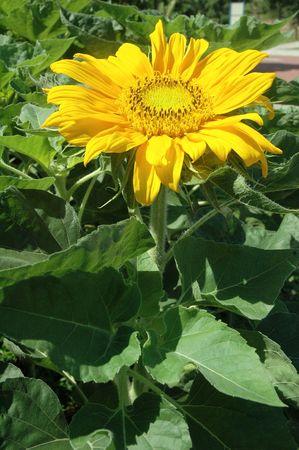 helianthus annuus: Bright golden sunflower Helianthus annuus in full blossom