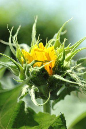 helianthus annuus: Bright golden sunflower bud Helianthus annuus