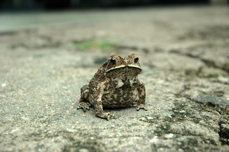 protruding eyes: Amphibian Anura frog on a rough pavement