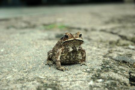 anura: Anura anfibios rana en un duro pavimento