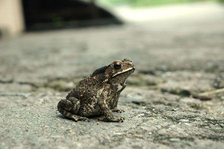 anura: Anura anfibios rana sobre un pavimento duro