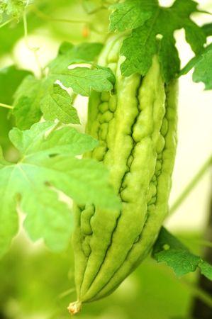 Bitter melon or gourd on the vine