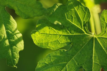 Macro shot of green leaves with veins in details Stock Photo