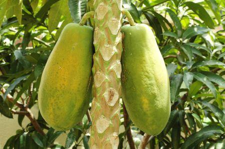 Carica papaya tree bearing fruits in a tropical farm Stock Photo