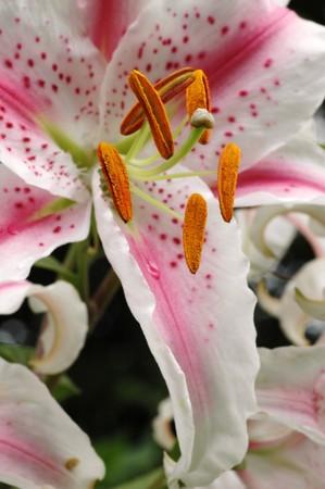 Flower Lilium Stargazer with shallow depth of field focus on stamens