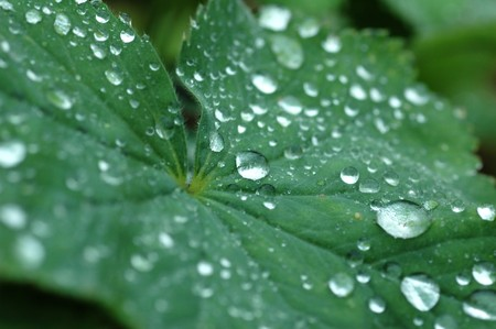 Green leaf and evening dew drops with shallow depth of field