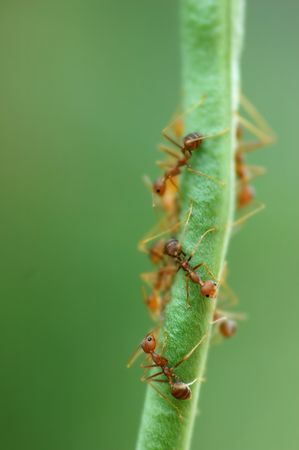 formicidae: Macro of Formicidae ants on green bean with low depth of field Stock Photo