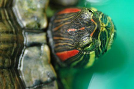 Low depth of field shot of tortoise Red-eared Sliders (Trachemys scripta elegans) with focus on the eyes