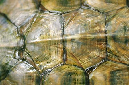 Close up texture of a tortoise shell tortoise Red-eared Sliders (Trachemys scripta elegans)