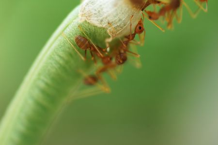 Macro of Formicidae ants with low depth of field Stock Photo