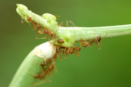 Macro of ants on green bean with low depth of field Stock Photo