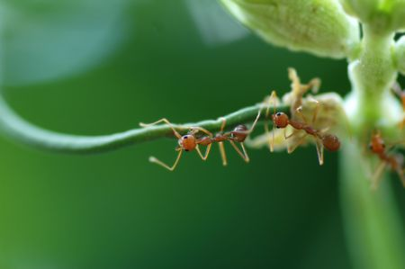 Macro of Formicidae ants on green bean with low depth of field Stock Photo - 5111148