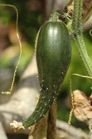 Fresh and ripe green cucumber (Cucumis sativus) plant