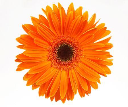 yellow daisy: orange daisy, on white