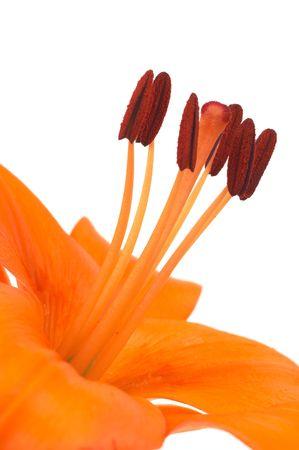 oranje lelie: oranje lelie op wit