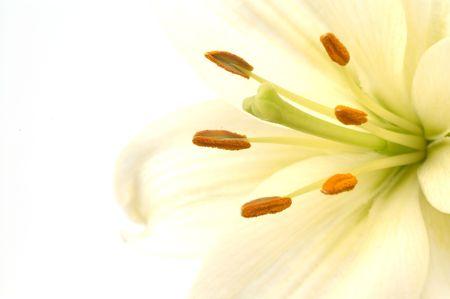 white high key lily Stock Photo - 405753
