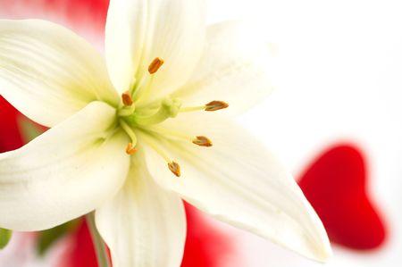 lirio blanco: Lirio blanco sobre blanco