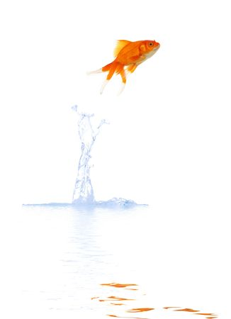beautiful goldfish jumping into the air from water photo