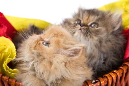 beautiful and cute persian cats on white background photo