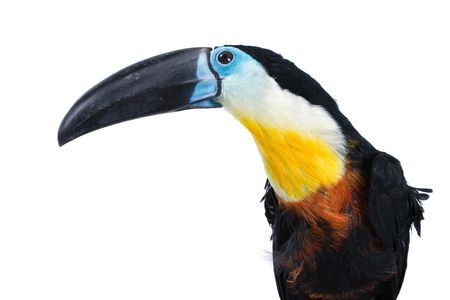 beautiful toucan with lots of colors on white background photo