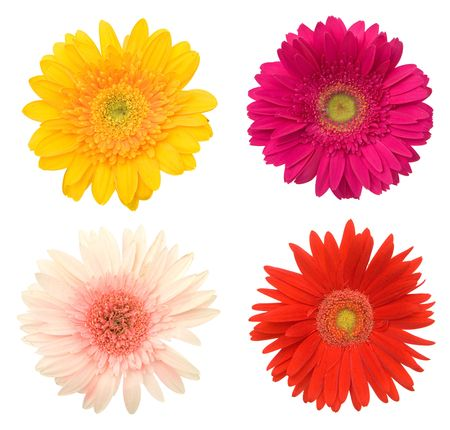 flores de cumplea�os: lotes de hermosas flores de colores margarita en blanco